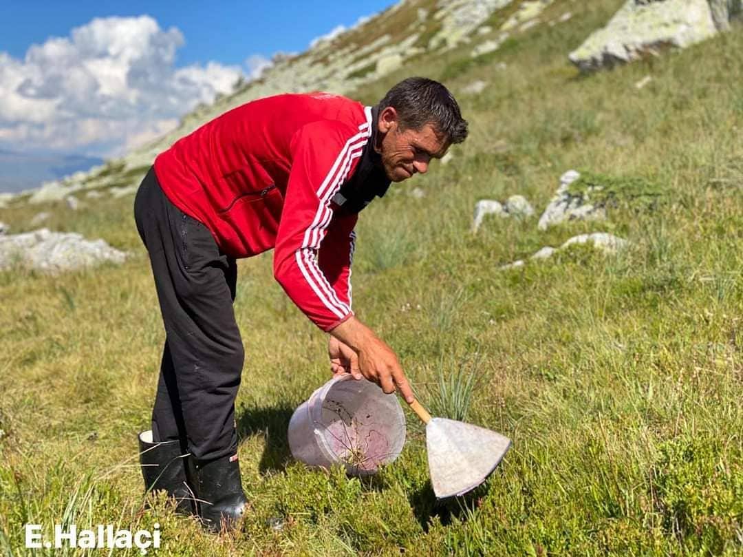 FOTOLAJM/ Duke mbledhur boronica në bjeshkët e Kukësit