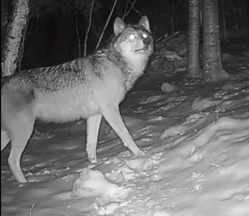 VIDEO/ Filmohet një ujk në zonën e Grykë-Çajës